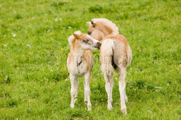Meura  Deutschland  Haflingerfohlen auf einer Weide