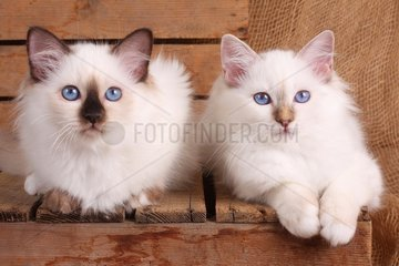 HEILIGE BIRMA KATZE  BIRMAKATZE  SACRED CAT OF BIRMA  BIRMAN CAT  KITTEN  LITTER