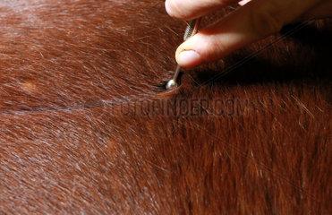 Neuenhagen  Deutschland  Detailaufnahme  Arbeit mit einem Akupressurstift am Pferd