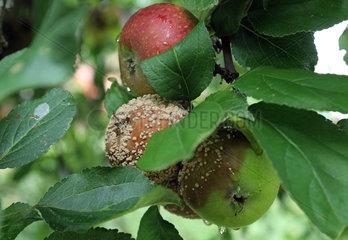Neuenhagen  Deutschland  faulige Aepfel haengen an einem Baum