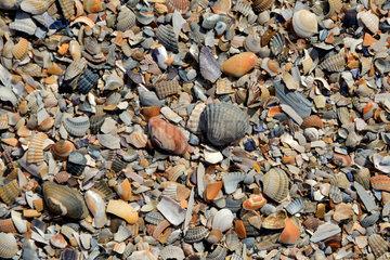 Baltrum  Deutschland  Muscheln am Strand