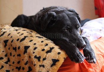 Neuenhagen  Deutschland  Hund schlaeft auf einem Bett