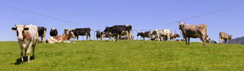 Kuehe und Rinderherde auf Weide