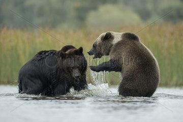 zwei im Wasser... Europaeische Braunbaeren *Ursus arctos*