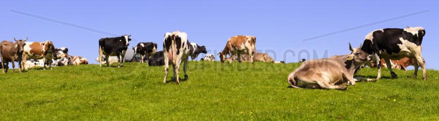 Kuhherde auf der Weide im Allgaeu