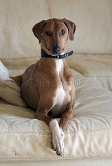 Newmarket  Grossbritannien  Greyhound liegt auf einem Sofa