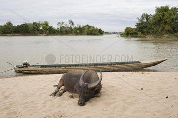Schlafender Wasserbueffel an der Anlegestelle fuer Boote / Don Det / Laos / S