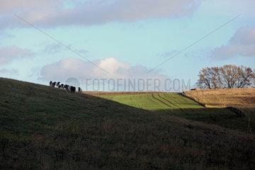 Neu Kaetwin  Deutschland  Dorperschafe stehen auf einer huegeligen Weide im Schatten