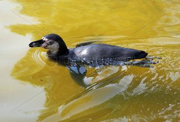 Berlin  Deutschland  Brillenpinguin schwimmt