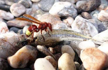 Taormia  Italien  Orientalische Hornisse nagt an einem toten Fisch