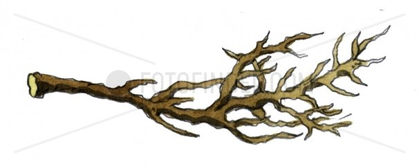 Trockener Holzast Zweig