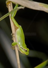 Mediterranean Tree Frog  Hyla meridionalis  from Camargue  Provence  southern France