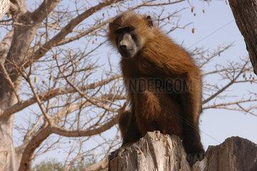 Kanilai  Gambia  Affe im Tierpark von Kanilai