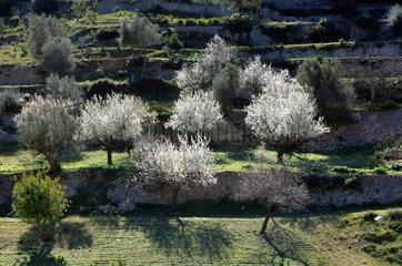 Mancor  Spanien  Mandelbluete auf Mallorca