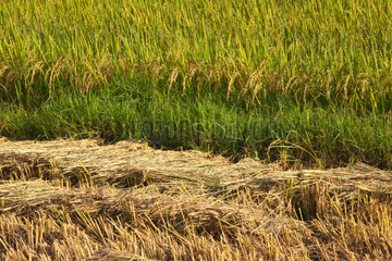 The fertile valley surrounding KENGTUNG or KYAINGTONG is used to grow RICE  MYANMAR