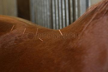 Neuenhagen  Deutschland  Akupunkturnadeln im Ruecken eines Pferdes