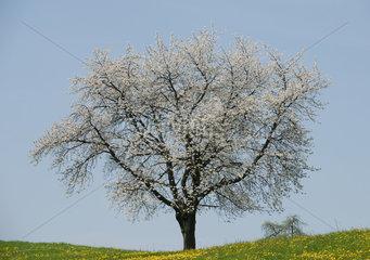 Heitersheim  Deutschland  Apfelbaum