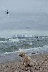 Rostock  Deutschland  ein Hund bei starkem Wind an der Ostsee