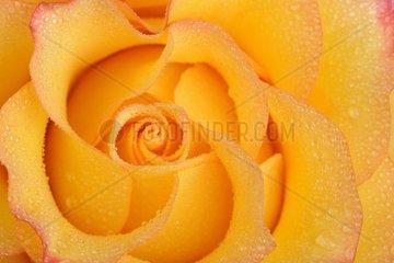 gelb orange Rose Rosa  mit Tautropfen