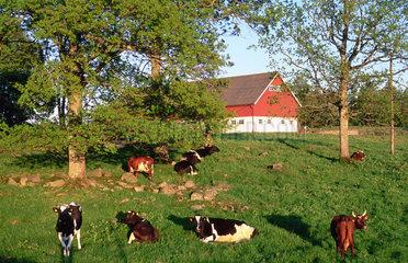 Flen  Schweden  Kuehe eines Bauernhofes