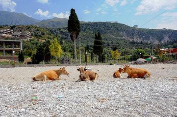 Dhermi  Albanien  Kuehe liegen am Strand