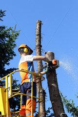 Magdeburg  Deutschland  Holzfaeller zerlegt von einer Hebebuehne aus einen grossen Tannenbaum
