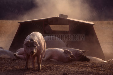 Domestic pig (Sus scrofa f. domestica)  sows at late afternoon in front of their hut  a special development by the farmer Erich Ressmann  Seedorf  Schleswig-Holstein  Germany