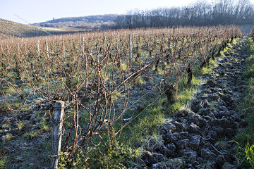 Grapevines in winter