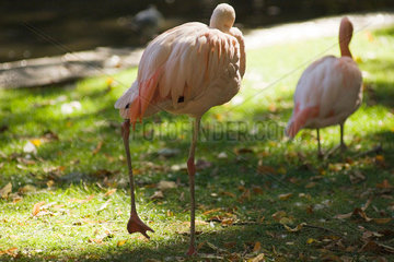 Lesser Flamingo (Phoenicopterus minor)  in zoo