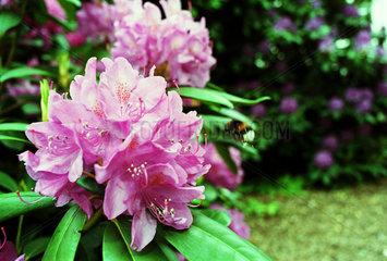 Rhododendronblueten