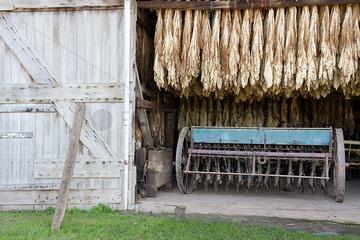 Tobacco leaves drying in barn  Ephrata  Pennsylvania  USA