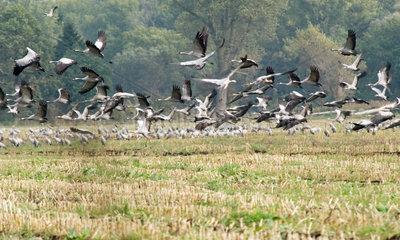 Langen  Kraniche fliegen auf ein Feld