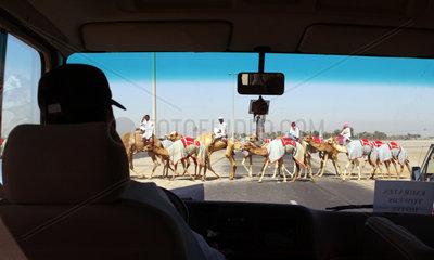 Kamele ueberqueren eine Strasse  Dubai