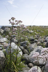 Valerian (Valeriana officinalis) growing near water's edge