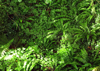 Ferns and ivy