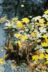 Autumn leaves floating on surface of pond