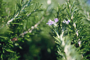 Rosemary plant in bloom  close-up