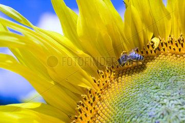 Oderberg  Deutschland  Sonnenblume