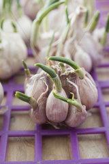 Fresh sprouting garlic