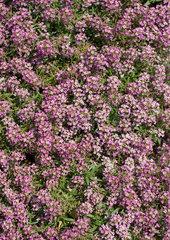 Flowering ground cover  full frame