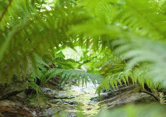 Ferns overhanging stream