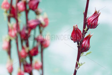 Exotic red tropical flowers budding on red stems