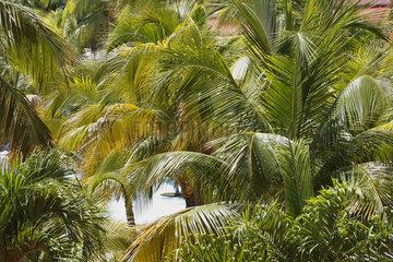 Palmen in Varadero