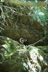 Mouflon in rocky terrain