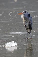 Graureiher Ardea cinerea  steht im Winter auf zugefrorenem See