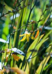 Yellow flowers of Crocosmia plant