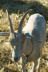 Goat with horns  close-up