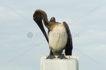 Juvenile Brown Pelican (Pelecanus occidentalis)