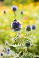 Buff-tailed bumblebee (Bombus terrestris) collecting pollen from globe thistle (Echninops ritro)