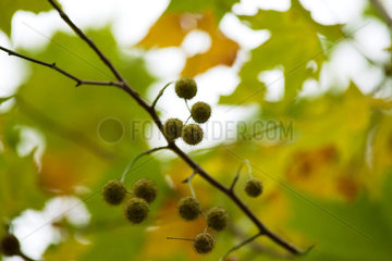 Sycamore branch  close-up